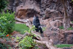 A huge gorilla sitting on a branch near a cliff. Wild animal. A huge gorilla sitting on a branch near a cliff royalty free stock image