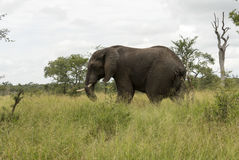Wild animal in kruger national parc Stock Images