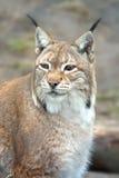 Wild animal lynx Stock Images
