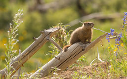 Wild Animal Marmot Marmota Yellowstone National Park Royalty Free Stock Image