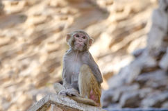 The wild animal a monkey a macaque in India Royalty Free Stock Images