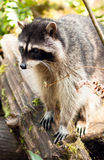 Wild Animal Raccoon Foraging Fallen Logs Nature Wildlife Coon Royalty Free Stock Photography