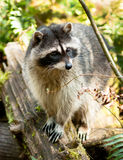 Wild Animal Raccoon Foraging Fallen Logs Nature Wildlife Coon Royalty Free Stock Images