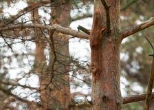 Wild animal. Red squirrel in autumn park Stock Photo