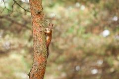 Wild animal. Red squirrel in autumn park stock image