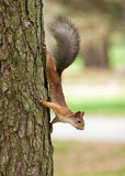 Wild animal. Red squirrel in autumn park Royalty Free Stock Photography