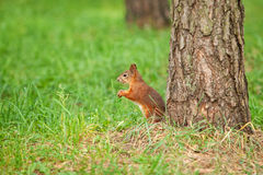 Wild animal. Red squirrel in autumn park Royalty Free Stock Photo