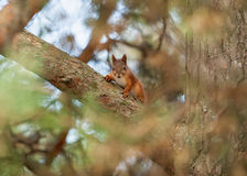 Wild animal. Red squirrel in autumn park Royalty Free Stock Photos