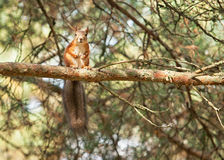 Wild animal. Red squirrel in autumn park Royalty Free Stock Images