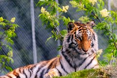 Wild animal, red striped tiger, with white stripes, lies on the. Grass, the background is blurred Stock Photography
