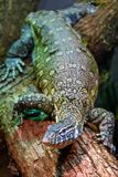 Wild animal, reptile, gray green iguana crawls along the tree. Wild animal, reptile, gray green iguana crawling through a tree in the rain forest Royalty Free Stock Images