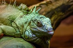 Wild animal, reptile, gray green iguana crawls along the tree. Wild animal, reptile, gray green iguana crawling through a tree in the rain forest Stock Photography