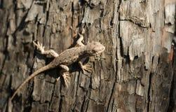 Wild Animal Sagebrush Lizard Forest Reptile Sceloporus Graciosus Stock Image