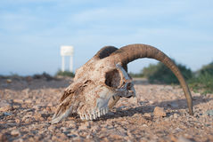 Wild Animal Skull Royalty Free Stock Photography