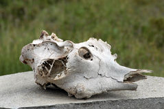 Wild Animal Skull Stock Photo