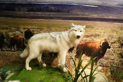 Wild animal specimen: Wolf Stock Photo