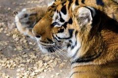 Wild animal striped predator amur tiger. Image wild animal striped predator amur tiger royalty free stock images