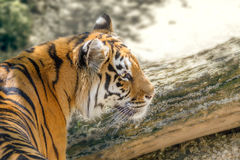 Wild animal striped predator amur tiger. Image wild animal striped predator amur tiger stock images