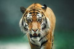 Wild animal Tiger portrait. Wild cat, big red tiger on nature stock photography