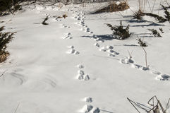 Wild animal traces on snow Stock Photos