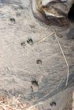 Wild Animal Tracks Beach Sand Near Ocean Waterfront Wild Place Royalty Free Stock Image