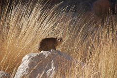Single Dassie sitting on a stone in Namibia royalty free stock image