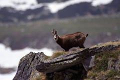 Wild animals. Wild mammals from mountain area, Romania, Europe Stock Images