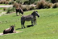 Wild Animals. Like zebras resting on green grasses stock images