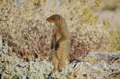 Wild animals of Africa: standing Mongoose Royalty Free Stock Image