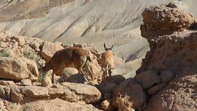 Wild animals in the desert in Israel stock video
