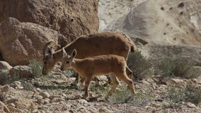 Wild animals in the desert in Israel stock video footage