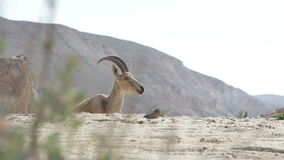 Wild animals in the desert in Israel stock footage