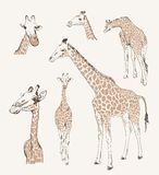 Wild animals. giraffe Royalty Free Stock Images