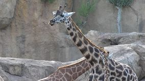 A wild animals giraffes. Wild life animals in nature stock footage