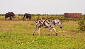 Wild animals on grass plains Stock Photos