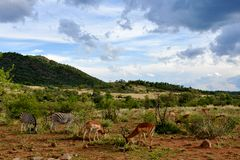 Wild animals grazing. Zebras and Impalas grazing peacefully next to each other Stock Photo