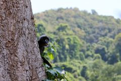 Wild animals,Leaf monkey or Dusky langur jumping on the treetops stock images