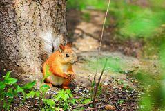 Quirrel clicks seeds in the forest. Wild animals royalty free stock photos