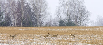 Wild animals roe deer running, Lithuania Royalty Free Stock Images