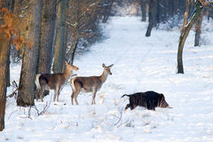 Wild animals on snow Royalty Free Stock Photography