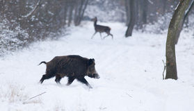 Wild animals on snow Stock Photography