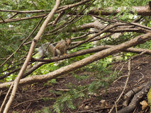 Wild animals.Squirrel. Wild animals. Squirrel sitting on the branch Royalty Free Stock Image