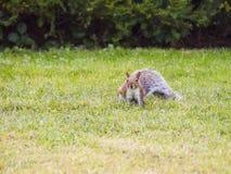 Wild animals.Squirrel. Wild animals. Squirrel sitting on the grass Stock Photos