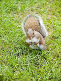 Wild animals.Squirrel. Wild animals. Squirrel sitting on the grass Royalty Free Stock Image