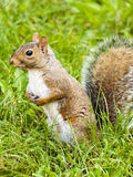 Wild animals.Squirrel. Wild animals. Squirrel sitting on the grass Stock Image