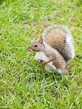 Wild animals.Squirrel. Wild animals. Squirrel sitting on the grass Royalty Free Stock Photo