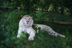 Wild animals, a tiger resting in the grass, wildlife.  Royalty Free Stock Photo