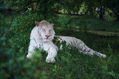 Wild animals, white tiger albino resting in the grass at the zoo in the awning.  Royalty Free Stock Photo