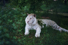 Wild animals, wildlife, a tiger resting in the grass, a zoo.  Royalty Free Stock Photos