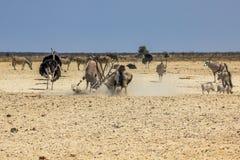 Etosha National Park royalty free stock image